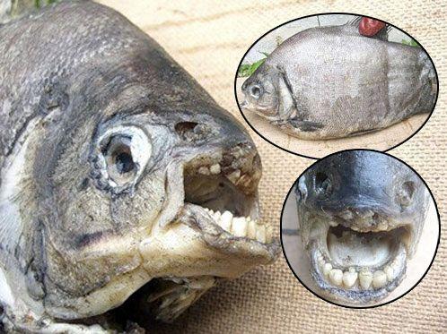Под Челябинском поймали рыбу с человеческими зубами