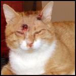 Кошка осталась живой после девяти пулевых ранений в голову и шею!