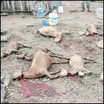 Кто убил всех этих коз?