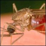Отсутствие комаров грозит эпидемией?