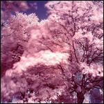 Святещиеся деревья - обыкновенное чудо