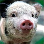 В России разрешили прививать человеку клетки свиней