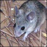 Птице-мыши: ученые научили грызунов петь
