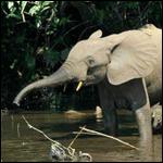 Лесные слоны и саванные - разные биологические виды