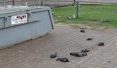 Дожди из мертвых птиц идут не только в Америке