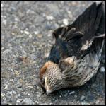 Массовые птичьи смерти теперь и в Квебеке