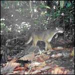 Недавно были сделанны фотографии калимантанской кошки, которую считали долгое время вымершей