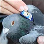 Летающие преступники: голуби-наркоторговцы