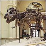 Тираннозавры все же хищники, а не падальщики