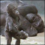 Был создан реабилитационный центр для горилл