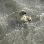Медведица проплыла 687 км