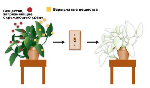 Растения заменят сканеры для обнаружения взрывчатки