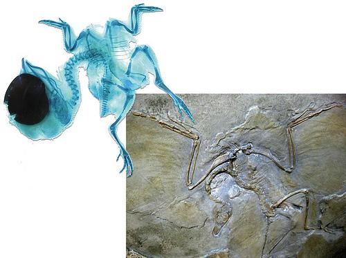 Японскими биологами найдено еще одно доказательство происхождения птиц от динозавров
