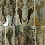 Самые старые из известных примеров многоклеточных растений были обнаруженны в Китае