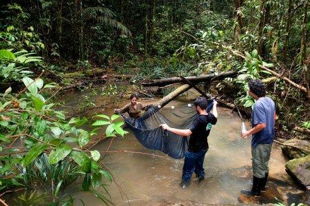 В Амазонке обнаружили сомов-ягуаров