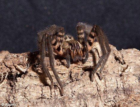 Бразильские пауки вылечат людей?