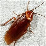 Ученые сделали из тараканов киборгов