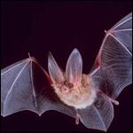 Летучие мыши - настоящие предки человека