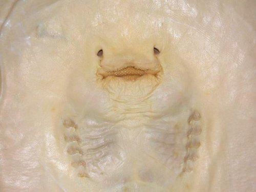 Ученые обнаружили скатов-блинов