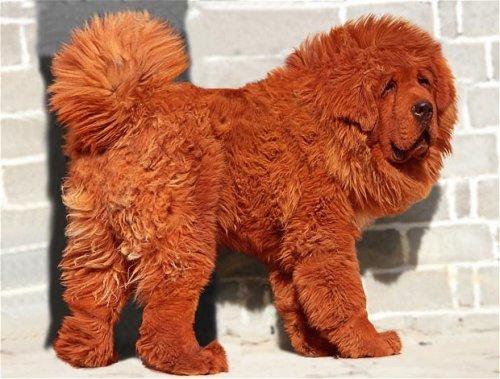 Щенок тибетского мастифа стал самым дорогим щенком на планете