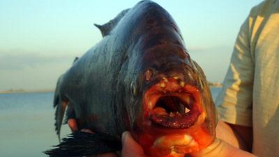 Под Ростовом поймали рыбу-убийцу
