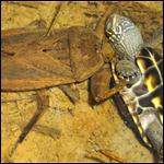Водяной жук пожирает черепах