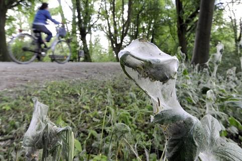 Полчища гусениц виноградной моли облепили деревья и кустарники в Ганновере