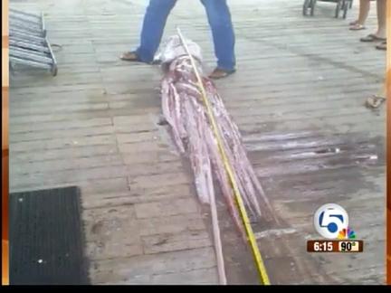 Во Флориде обнаружили семиметрового кальмара