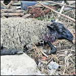 Овцы выжившие после чупакбры умерли одна за другой