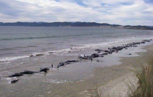 Более шестидесяти черных китов гринд выбросились на берег и погибли