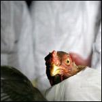 Группа ученых из Медицинского центра Эразма заявляет, что ей удалось получить смертельно опасный штамм птичьего гриппа