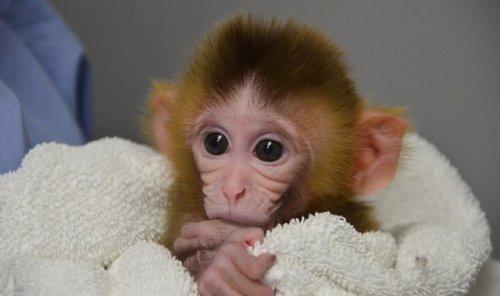 Появились ГМО обезьяны
