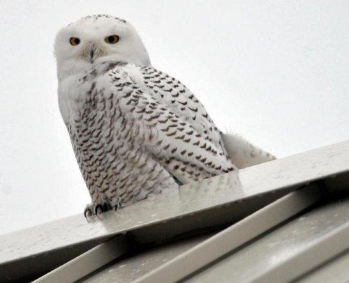 Полярные белые совы, обычно гнездящиеся в тундре, нынешней зимой принялись осваивать все США вплоть до южных штатов