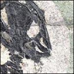 Палеонтологи обнаружили в китайской провинции Ляонин окаменелые останки одной из примитивных саламандр