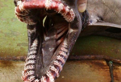 Мурманские рыбаки выловили у берегов Шпицбергена плащевидную акулу
