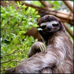 Ученые установили, что у ленивцев изменился вестибулярный аппарат