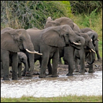 """Ученые обнаружили, что перед тем, как покинуть водопой, слоны обычно """"обсуждают"""" это решение"""
