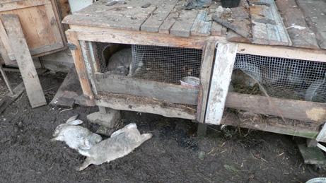 Чупакабра устроила в деревне Седча бойню