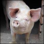 Между человеком и свиньей почти нет разницы