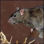 Крысы-мутанты, обнаруженные по меньшей мере в двух графствах Беркшир и Хемпшир, были практически нечувствительны к большинству ядов и болезней