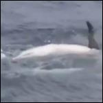 Впервые замечена  коллективная забота о взрослой особи дельфина