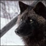 Первый черный волк