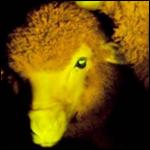 Чудеса генной инженерии: светящиеся в темноте овцы