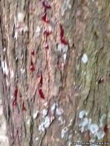 Деревья плачут кровью