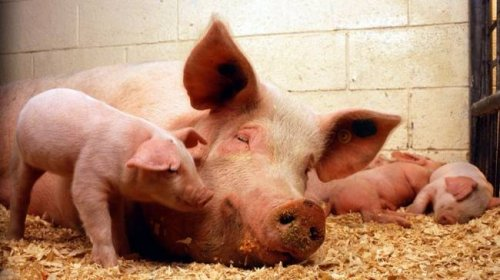 В Японии хотят выращивать человеческие органы в телах животных