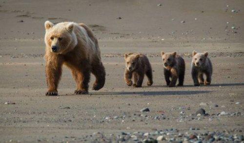 Медведица отомстила людям за кражу медвежонка