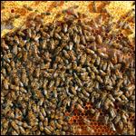 Американские пчелы насмерть закусали лошадей и ранили всадников