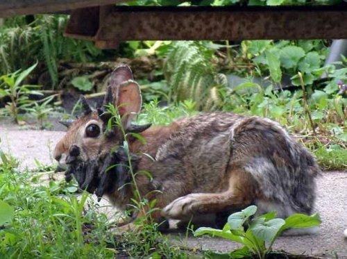 Рогатый кролик напугал тысячи людей