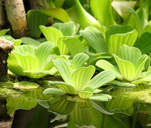 Тропический сорняк в украинской реке