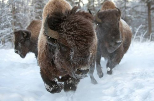 Гигантские бизоны Якутии
